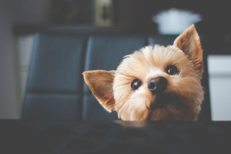 cute-yorkshire-waiting-for-her-food-picjumbo-com